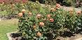 Golden_Gate_Park_Rose_Garden-FASTILY-1280.jpg