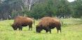american-bison-buffalo-golden-gate-parketsai from Saratoga-1280.jpg